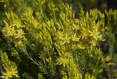 Calytrix flavescens, Jandakot Regional Park, near Perth, WA, 01/12/17 (Russell Cumming) Tags: plant calytrix calytrixflavescens myrtaceae jandakotregionalpark perth westernaustralia
