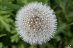 Macro dandelion (Didier Gozzo) Tags: flower fleur outdoor canon macro dandelion