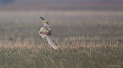 Velduil - Short-eared Owl - Asio flammeus  -6986 (Theo Locher) Tags: shortearedowl sumpfohreule velduil hiboudesmarais asioflammeus birds vögel vogels oiseaux belgium belgie copyrighttheolocher