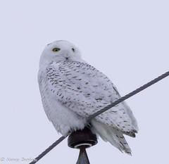 snowy owl 2018 (2 of 3) (High Street Photo buff) Tags: pentaxk3ii bird hydropole owl snowyowl winter