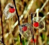 Physalis en fin de vie (mamietherese1) Tags: world100f earthmarvels50earthfaves bokehlicious ngc saariysqualitypictures coth coth5 phvalue fantasticnature