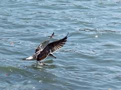 Pallas's gull or great black-headed gull (Siva301in) Tags: bird haridwar uttrakhand india siva301in sx40hs sx40 canon canonpowershotsx40hs canonpowershot powershotsx40hs powershot powershotsx40 great gull greatblackheadedgull pallassgull pallas pallasbird