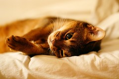 Lizzie in bed (DizzieMizzieLizzie) Tags: abyssinian aby beautiful wonderful lizzie dizziemizzielizzie portrait cat chats feline gato gatto katt katze katzen kot meow pisica sony animal pet 2017 cute bed siesta yellow neko macska kedi 猫 kočka kissa γάτα köttur kucing kaķis katė кошка mačka gatos kitteh chat ネコ beauty a6500 zeiss fe 55mm f18 za ilce6500 ilce sel55f18z sonnar awesome digital golden style 2018 bokeh