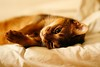 Lizzie in bed (DizzieMizzieLizzie) Tags: abyssinian aby beautiful wonderful lizzie dizziemizzielizzie portrait cat chats feline gato gatto katt katze katzen kot meow pisica sony animal pet 2017 cute bed siesta yellow neko macska kedi 猫 kočka kissa γάτα köttur kucing kaķis katė кошка mačka gatos kitteh chat ネコ beauty a6500 zeiss fe 55mm f18 za ilce6500 ilce sel55f18z sonnar awesome digital golden style 2018 bokeh