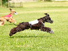 CoursingVillaverla2016w-060 (Jessica Sola - Overlook) Tags: dogs sighthounds afghanhounds greyhounds saluki barzoi italiangreyhounds irishwolfhounds lurecoursing lure race run dograces field greengrass