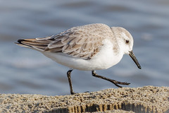 Sanderling (tresed47) Tags: 2017 201712dec 20171211delawarebirds birds canon7d content december delaware fall folder fowlersbeach peterscamera petersphotos places sanderling season shorebirds takenby us