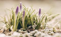 Resisting (A_Peach) Tags: pancolar park winter spring crocus ice frost frosty flower mft m43 lumix panasonic microfourthird micro43 apeach anjapietsch plant nature availablelight vintagelens manualfocus adaptedlens dof bokeh