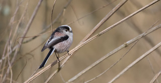 Long-Tailed Tit or long-tailed bushtit (Aegithalos caudatus), occasionally referred to as the silver-throated tit or silver-throated dasher