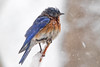 Bad feather day 2 (cheryl.rose83) Tags: bird bluebird snow snowstorm massachusetts noreaster skylar