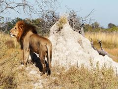 Okovango Delta (hugoholunder) Tags: afrika botswana löwe okovangodelta