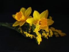 Daffs and Solidago (Smiffy'37) Tags: daffodils flowers solidago nature yellow beauty closeup stilllife blackbackground