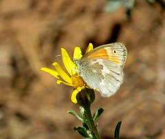 Common ringlet (Coenonympha tullia) butterfly, Mesa Verde National Park, Montezuma County, CO, June 2017 (Judith B. Gandy (on and off, off and on)) Tags: coenonympha butterflies colorado insects invertebrates lepidoptera coenonymphatullia commonringletbutterflies mesaverdenationalpark macrodreams