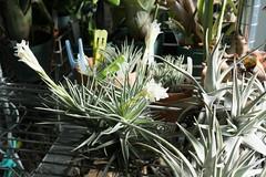 Tillandsia aeranthos var. alba (@penguin_yu_ki) Tags: tillandsia