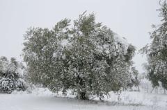 dressed in white (tosco974) Tags: inverno fotografia photografy foto photo toscano luigi albero neve lazio italy italia ulivo