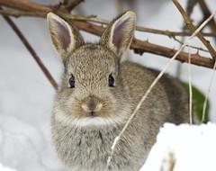 Trust (Alan McCluskie) Tags: oryctolaguscuniculus europeanrabbit rabbit mammal animal wildlife nature canon7dmk2 sigma150600mmsp explored inexplore