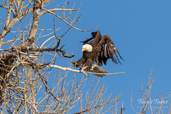 Female Bald Eagle returns to the nest - 19 of 29