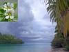 Sad Bleaching. Pemphis acidula, Shrubby Coral Pemphis, Tapuaeta'i, Aitutaki, Cook Islands (Rana Pipiens) Tags: pemphisacidula shrubbycoralpemphis coral coralbleaching tapuaetaiaitutakicookislands snorkeling water pacificocean tekopuaaitutakicookislands