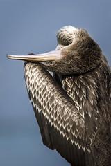 070A3313 (Cog2012) Tags: cormorant
