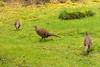 Three pheasants (Graham Dash) Tags: heathergarden virginiawater windsorgreatpark birds pheasants wildbirds