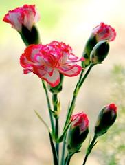 Painted by Nature (barbara_donders) Tags: natuur nature bokeh macro flowers bloemen bloemknop flowerhead wit white red rood gekleurd colorfull mooi prachtig beautifull magical spring lente