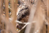 march 2018 lake katherine (timp37) Tags: animal palos illinois march 2018 lake katherine beaver
