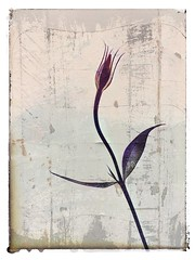 Day 068 Solo (Clare Pickett) Tags: iphone spray one solo flower texture
