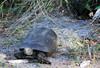 Gopher Tortoise (Gopherus polyphemus); Punta Gorda, FL, Charlotte Harbor Environmental Center [Lou Feltz] (deserttoad) Tags: wildlife nature florida turtle tortoise amphibian behavior