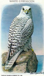 Arm and Hammer Bird Card: Gyrfalcon