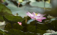 Lotus (@CuongDo) Tags: hoa hoasen sen lotus outdoor sony sonya7mark2 ilcea7m2 light green