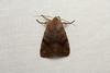 Orthosia hibisci (Speckled Green Fruitworm Moth) - Hodges # 10495 - Everett, WA (Nick Dean1) Tags: orthosiahibisci 10495 animalia arthropoda animal hexapoda hexapod insect insecta lepidoptera moth