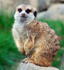Erdmännchen (anubishubi) Tags: säuger säugetier raubtier beutegreifer erdmännchen opelzoo nikond60