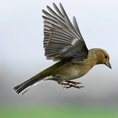 Pinson A6504506_DxO (jackez2010) Tags: ilce6500 fe100400mmf4556gmoss bif birdinflight pinsondesarbres