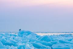 Snowy Owl on Ice (_davidsargent) Tags: owl wildlife nature snow winter michigan animal bird ice blue landscape sunset