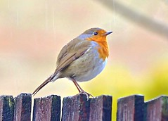 Robin in pouring rain! (georgepulford) Tags: high quality