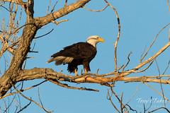 Female Bald Eagle taking a break from the nest