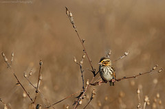 Savannah Sparrow (Cameron Darnell) Tags: birds wildlife camera photo photography photograph art canon tamron december virginia savannah field savannahsparrow sparrow bird 2017 cameron meadow nature animal winter birding sky