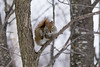 Écureuil roux, Québec, Canada - 5101 (rivai56) Tags: villedequébec québec canada ca écureuilroux squirrel sonyphotographing three arbre red branch