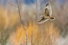 Short-eared owl-6235.jpg (oregondew) Tags: asioflammeus shortearedowl diamondhilldr