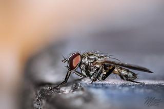 Mosca / Fly