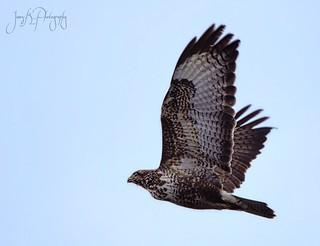 Common Buzzard flyby.