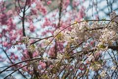 DSC_0022 (Dan Fire) Tags: flower dome cloud forest gardens by bay marina singapore sakura cherry blossom