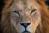 Löwenaugen (Jutta Achrainer) Tags: achrainerjutta löwen raubtiere sonyalpha7riii sonyfe100400mmf4556gmoss säugetiere tierwelt augen tierparkhellabrunn münchen