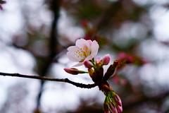 20180318夙川の桜 (kzk@α6000) Tags: 桜 cherry 夙川 α6300 sony sonyalpha
