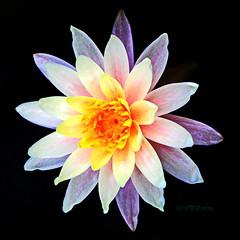 "Queen Sirikit Botanic Gardens. (ol'pete) Tags: queensirikitbotanicgardensสวนพฤกษศาตร์สมเด็จพระนางเจ้าสิริกิติ์ maerim แม่ริม chiangmai เชียงใหม่ thailand ประเทศไทย เมืองไทย gardens สวน hoticulture flowers trees plants lilies lotus ""canon7dmk2"" earthasia"