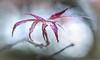 N9111 (cleigh01) Tags: littledale lh lilyponds leaf japanesemaple raindrop