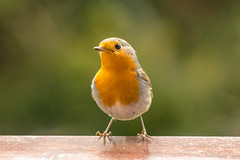 Robin on my balcony (CsiziPhoto) Tags: