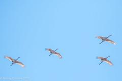 Unexpected (rdroniuk) Tags: birds cranes wadingbirds sandhillcrane oiseaux grue grueducanada gruscanadensis antigonecanadensis beamer