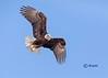 Bald Eagle (bsky-studio) Tags: birdwatcher eagle eagleeyes talon whitehead whitetail yellowbeak baldeagle bluesky flying nature wildlife