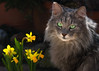 What's so exciting about daffodils ? (FocusPocus Photography) Tags: fynn fynnegan katze kater cat chat gato tier animal haustier pet narzissen daffodils frühling spring blumen flowers