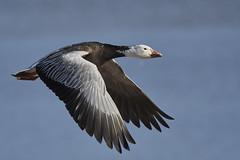 Snow goose (chmptr) Tags: oiseau bird animalier animal wildlife vol flight oie goose snow neige